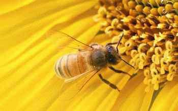 пыльца, алоэ вера